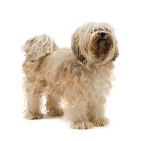 Tibetan Terrier Information, Facts, Pictures, Training and
