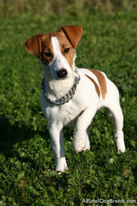 Jack Russell Terrier - Toate Animalele